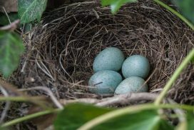 Nest with blue eggs, symbolizing family constellation facilitator training in Boston and throughout New England.