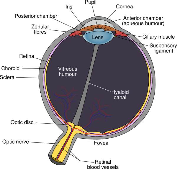 parts of the eye diagram and function 2 pin flasher relay wiring retina s anatomy related diseases what are