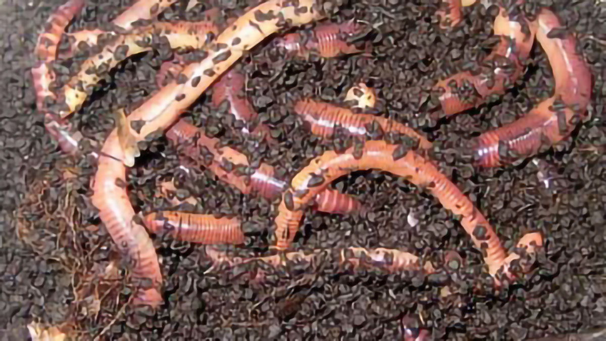 Two species of earthworms selected and bred for lumbricomposting organic waste