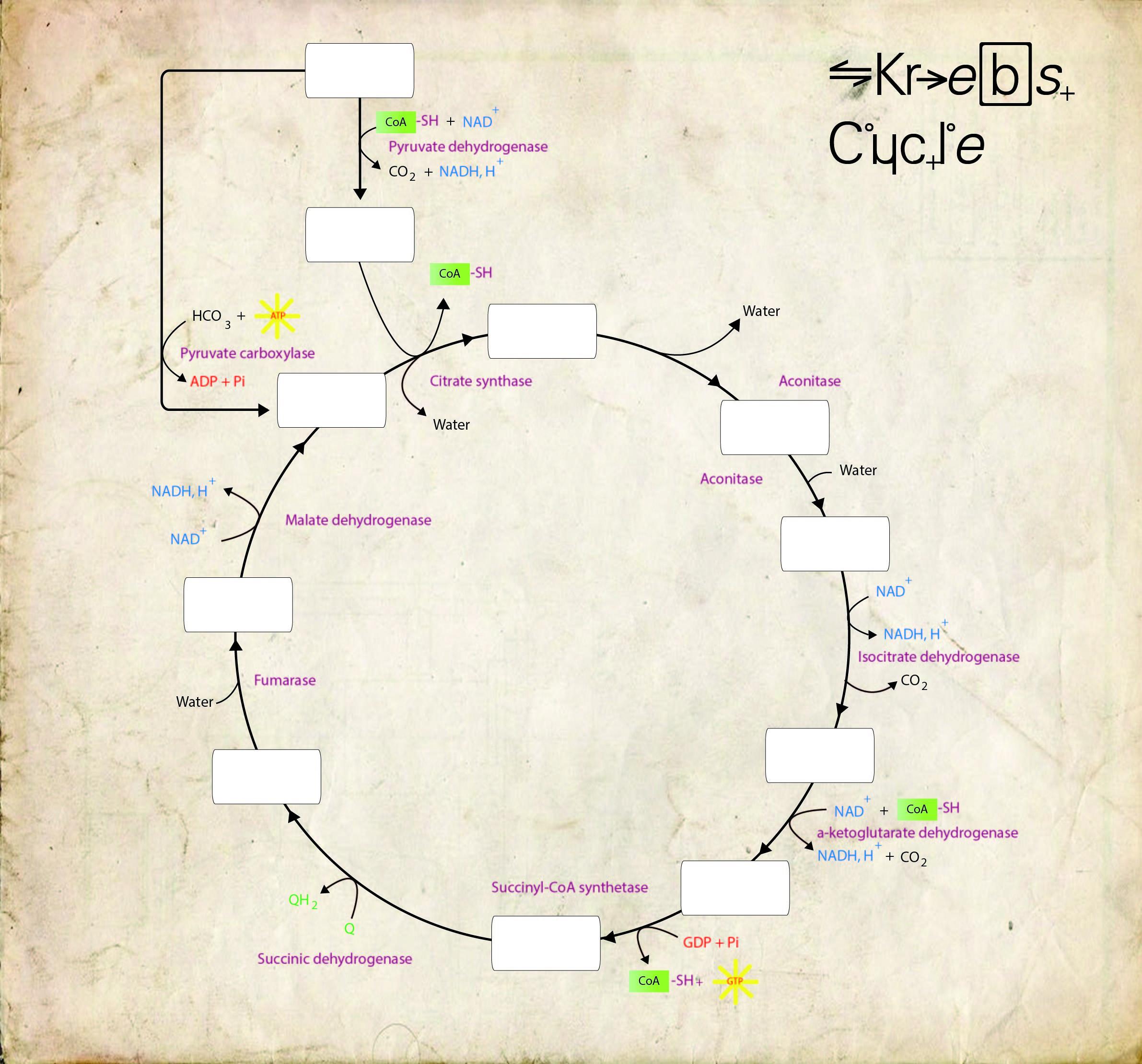 krebs cycle blank diagram