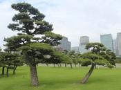 Beautiful Black Pines