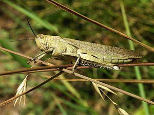 Grassopper of Acrididae family: Anacridium aeg...