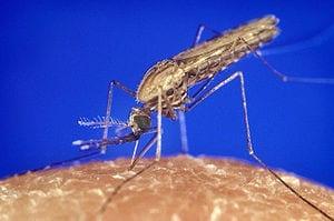 English: ID#:1354 Anopheles gambiae mosquito f...
