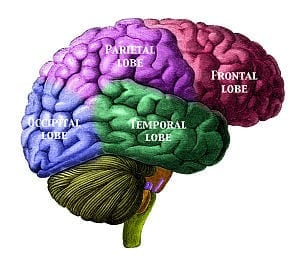 Brain viewed from the right side showing the 4...