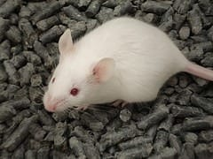 New therapy effective and safe for treating obesity in mice
