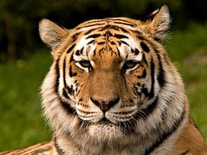 Siberischer_tiger_de_edit02