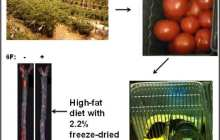 The New Tomato — UCLA Researchers Engineer Tomatoes That Mimic Good Cholesterol