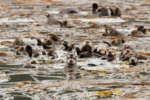 UCSC study shows how urchin-loving otters can help fight global warming