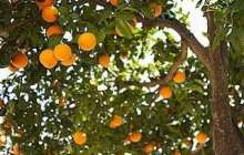 New study offers hope for halting incurable citrus disease