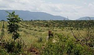 Sisal_crops_in_Tanzania