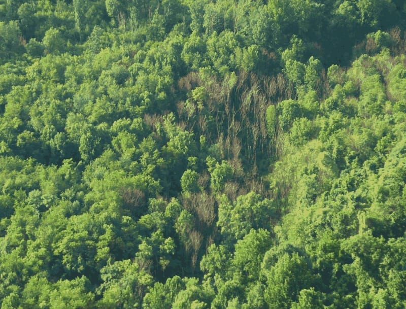 A Penn State researcher found considerable wilt and death in a tree-of-heaven grove in a southwestern Pennsylvania forest in 2003. Further research suggested that a fungus was causing the dieback. Researchers now believe that the fungus could play a key role in controlling the invasive spread of the tree-of-heaven. Image: Penn State