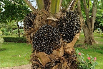 English: Fruit of Elaeis guineensis (oil palm) produced by a young palm at the botanical garden of Portoviejo, Ecuador. credit: Wikipedia)