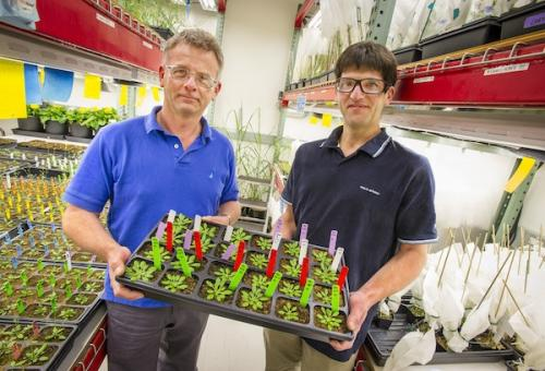 Henrik Scheller (left) and Dominique Loque hold a tray of Arabidopsis Thaliana plants, which they used in their research. Credit: Berkeley Lab photo