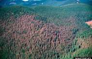 Researchers discover natural resistance gene against spruce budworm