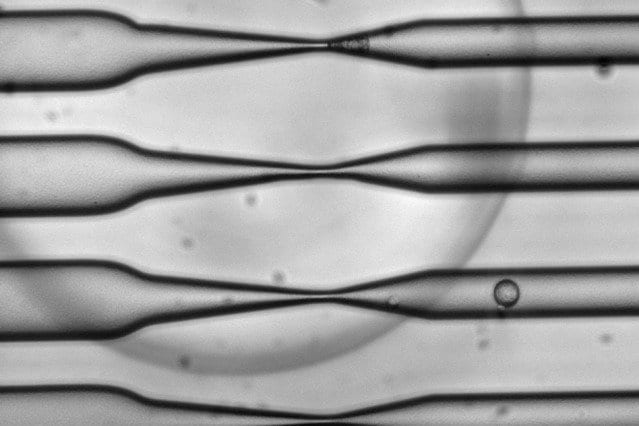 As cells pass through the CellSqueeze device at high speed, narrowing microfluidic channels apply a squeeze that opens small, temporary holes in the cells' membranes. As a result, large molecules — antigens, in the case of this study — can enter before the membrane reseals. Courtesy of SQZ Biotech