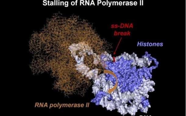 Novel DNA repair mechanism brings new horizons