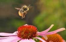 Bumblebees Have A New Job: Delivering Organic Pesticides