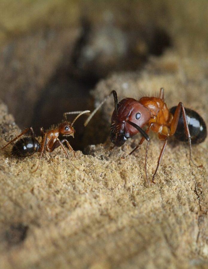Florida carpenter ants, minor caste (left) and major caste Credit: The lab of Shelley Berger, PhD, Perelman School of Medicine, University of Pennsylvania