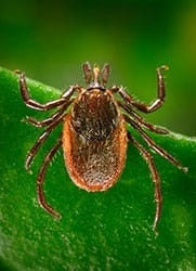 Deer, or black-legged, ticks can transmit Lyme disease to humans during feeding, when they insert their mouth parts into the skin. A new experimental test developed at NIST has been shown to detect the disease near the time of infection, earlier than the standard blood test now used. Credit: James Gathany/CDC