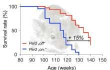 Turn off gene Per2 – Turn on Healthy Aging