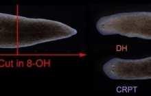 Bioelectric pattern memory guide worms' regenerative body plan after injury