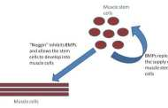 Stronger muscles in old age with stem cells?