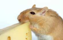 Researchers have been able to completely block the development of obesity - in mice