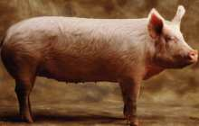 Scientists have produced pigs that can resist one of the world's most costly animal diseases, by changing their genetic code