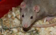 A preventive treatment for schizophrenia appears to work in rats
