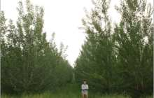 Trees can be genetically engineered not to spread