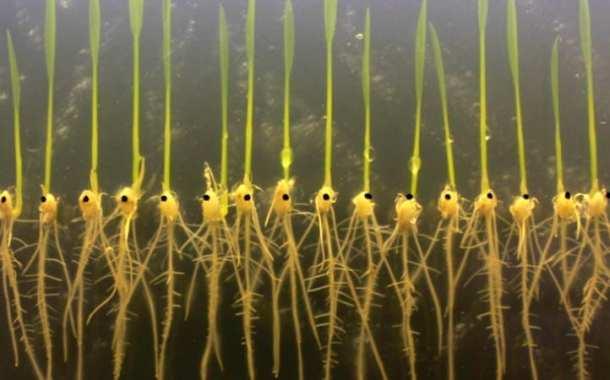 New study opens the door to flood resistant crops