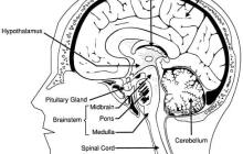 Is this the brain structure that controls our behavior?