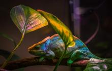 New bio-based smart skin is a flexible color-changing film inspired by chameleons