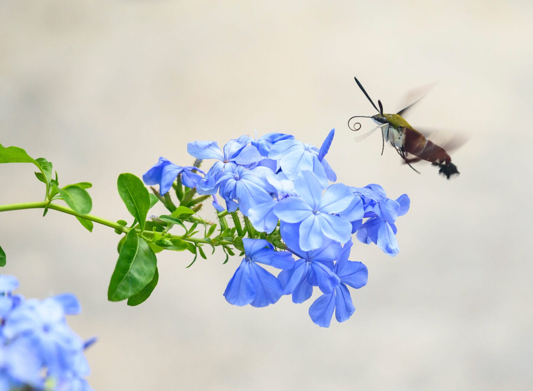 Bees and butterflies aren't the only pollinators. Flies, beetles, moths and other insects also play a key role in helping flowering plants reproduce. Here, a hummingbird hawk moth unfurls its long proboscis to feed. FLORIDA MUSEUM PHOTO BY JEFF GAGE