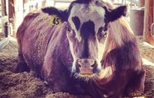 Feeding seaweed to cattle could reduce their greenhouse gas emissions by as much as 82 percent