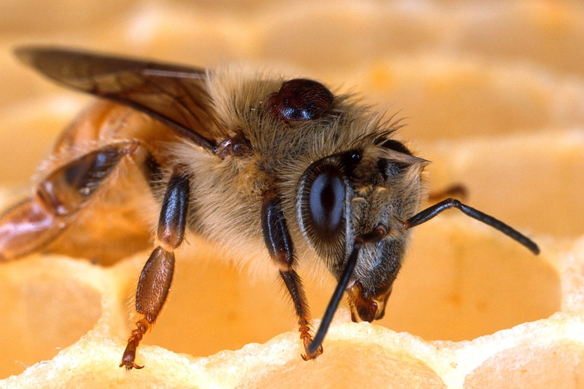 Varroa mites seen living on a honey bee. Mites weaken bees' immune systems, transmit viruses, and siphon off nutrients. Photo by Scott Bauer, USDA Agricultural Research Service