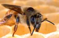 A new fungus strain could provide a chemical-free method for eradicating mites that kill honey bees