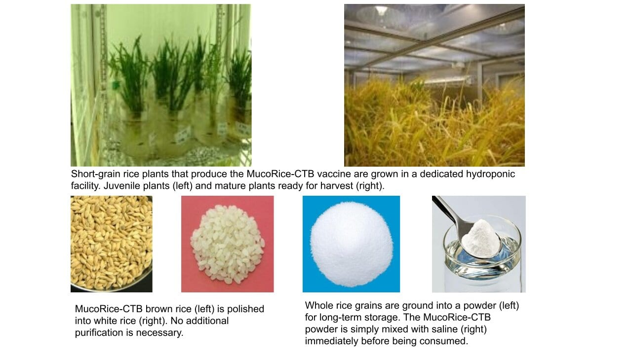 The MucoRice-CTB vaccine is grown in rice plants and stimulates immunity through the mucosal membranes of the intestines. The vaccine can be stored and transported without refrigeration and does not need needles; it is simply mixed with liquid and drunk. © Dr. Hiroshi Kiyono, CC BY.