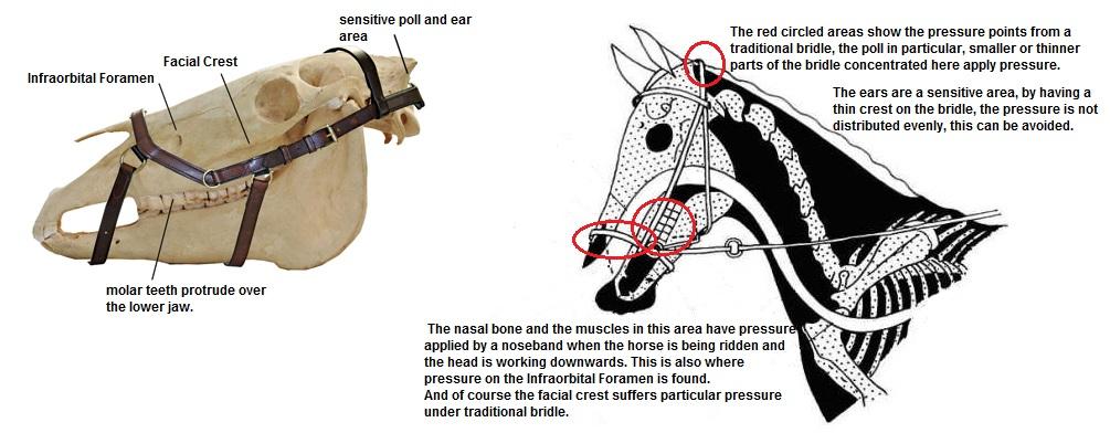 horse muscle and bone diagram 500 watt audio amplifier circuit of skull wiring all data online sketch
