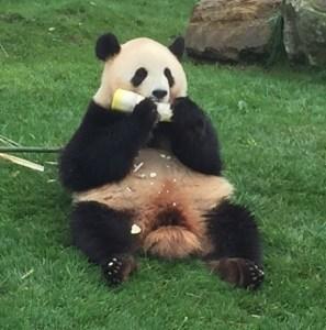 企画はパンダの魅力にかなわない?