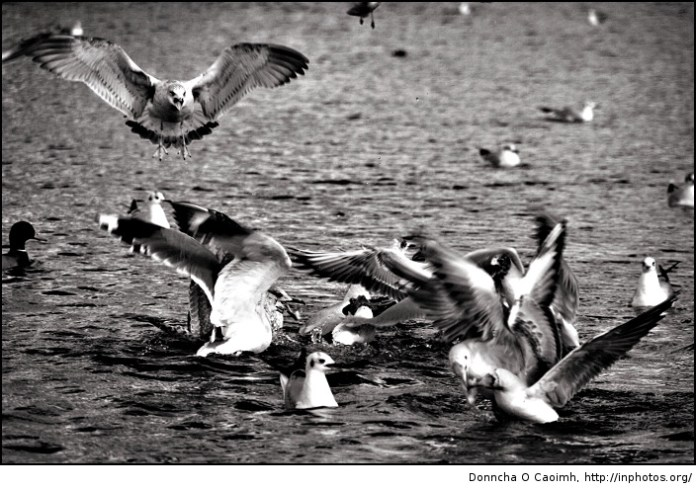 The gull fight