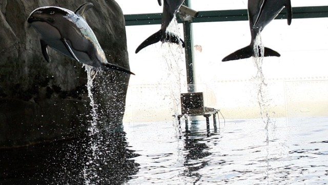 Dolphins Leaping at Shedd