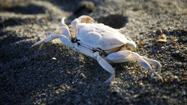 Inchadoney Crab