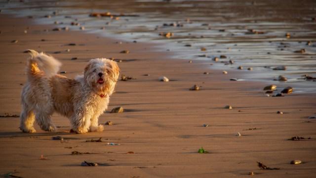 Oscar on the beach again!