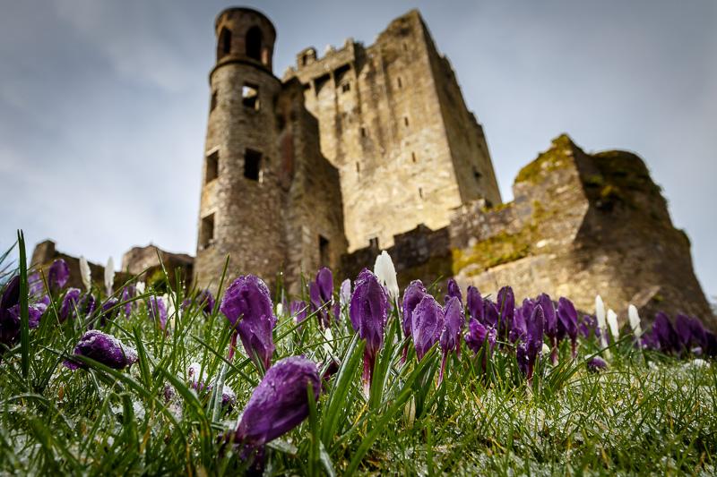 Crocus Flowers and Blarney Castle