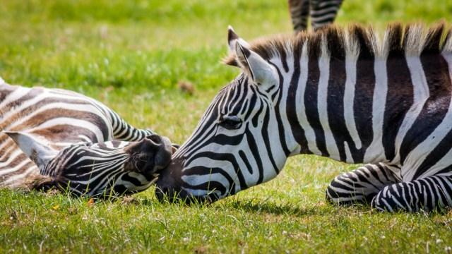 Zebras at Fota