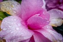 Rain on the Pink