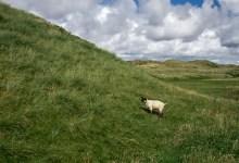 Maghera Sheep