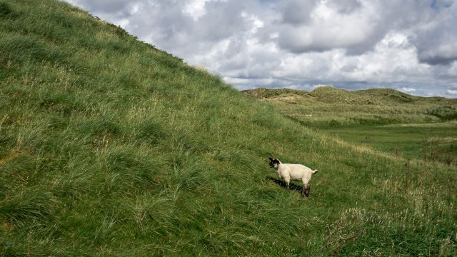 Maghera Sheep