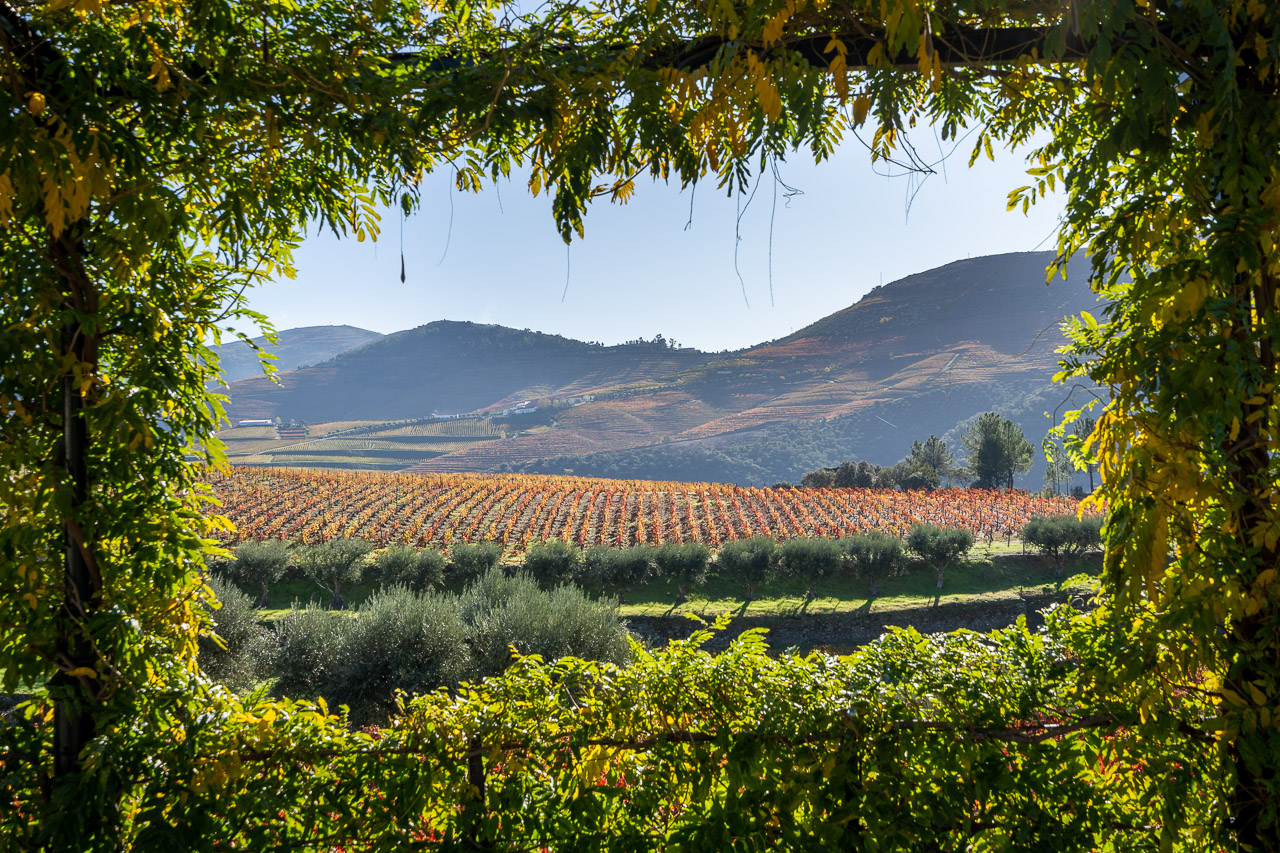 The Vines of the Douro Valley